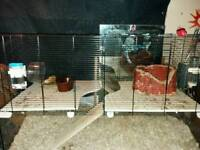 2 male Gerbil and complete set up