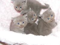 British Blue / Ragdoll Kittens
