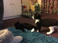 Two beautiful male kittens