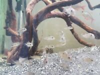 Geophagus red hump earth eater