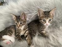 Amazing kittens Bengal cross