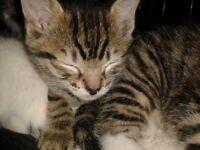 Stunning Bengal Siamese cross Tabby kittens