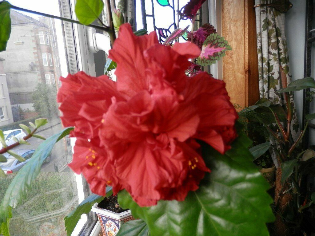 Large Mature Red Double Flower Hibiscus Chinese Rose 120 Cm