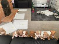 Blue nose tri American bully puppies