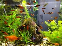 Tropical fish baby fish aquarium plants aquarium fish guppy swordtail ( Tank not for sale)