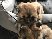 £550 Beautiful Lhasa Apso puppies 🐶 looking to go to their forever homes 🏠