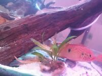 Jewel tropical fish pair