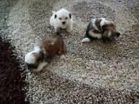 ,, shih Tzu cross Yorkshire Terrier