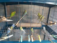 Budgie of different colours and age