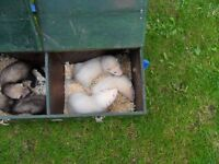 young ferrets for sale