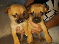 Jack Russell X pug puppies