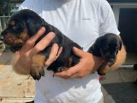 Stunning Doberman puppies