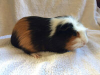 Male Guinea pig for pet home