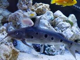 Synodontis nonatus one spot catfish