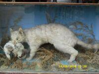 antique taxidermy wild cat