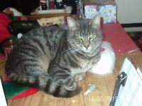 Missing Silver Tabby. Male. Neutured and Microchipped. Has been missing since August 2016.