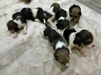 Tri-Coloured Beagle Puppies for sale