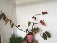 Big Begonia Plant.