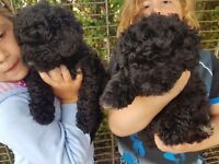 Hungarian puli puppies for sale