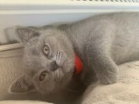 British shorthair blue female