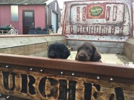 Cockerpoo puppies for sale