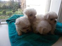 maltese female pups tiny type