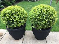 Pair of large buxus topiary balls
