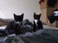 2 male kittens 1/4 persian both go together