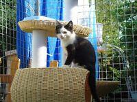 ragdoll persion kcross kitten.