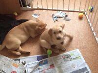 Labrador Puppies cutties