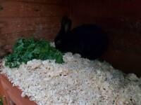 Beautiful all black miniture bunny