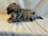 READY NOW CHOCOLATE MERLE MINI x TOY POODLE