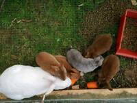 Mini rex baby rabbits