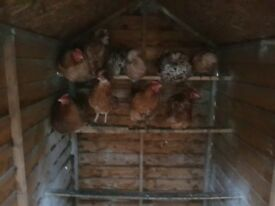 3 Big brown hens For sale