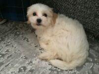 Shichon teddy bear pup