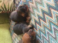 Dachshund puppies three boys c