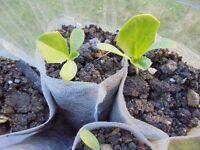 Plant for sale- a young chicory (cichorum Intybus) plant