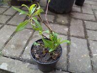 Penstemon `Burgundy' plant