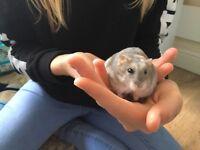 2 beautiful winter white male dwarf hamsters for sale