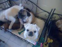 2 gorgous kc reg pug babies ready now 1 boy 1 girl 15 weeks old x