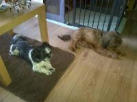Yorkshire Terrier/Shih-Tzu x Puppies.
