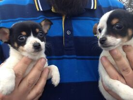 Jack a poo cross .Chihuahua puppies only one girl left