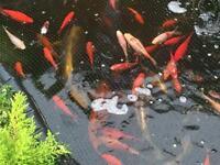 Pond fish / goldfish