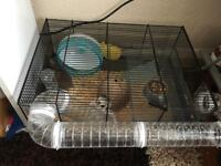 Syrian hamster for selling