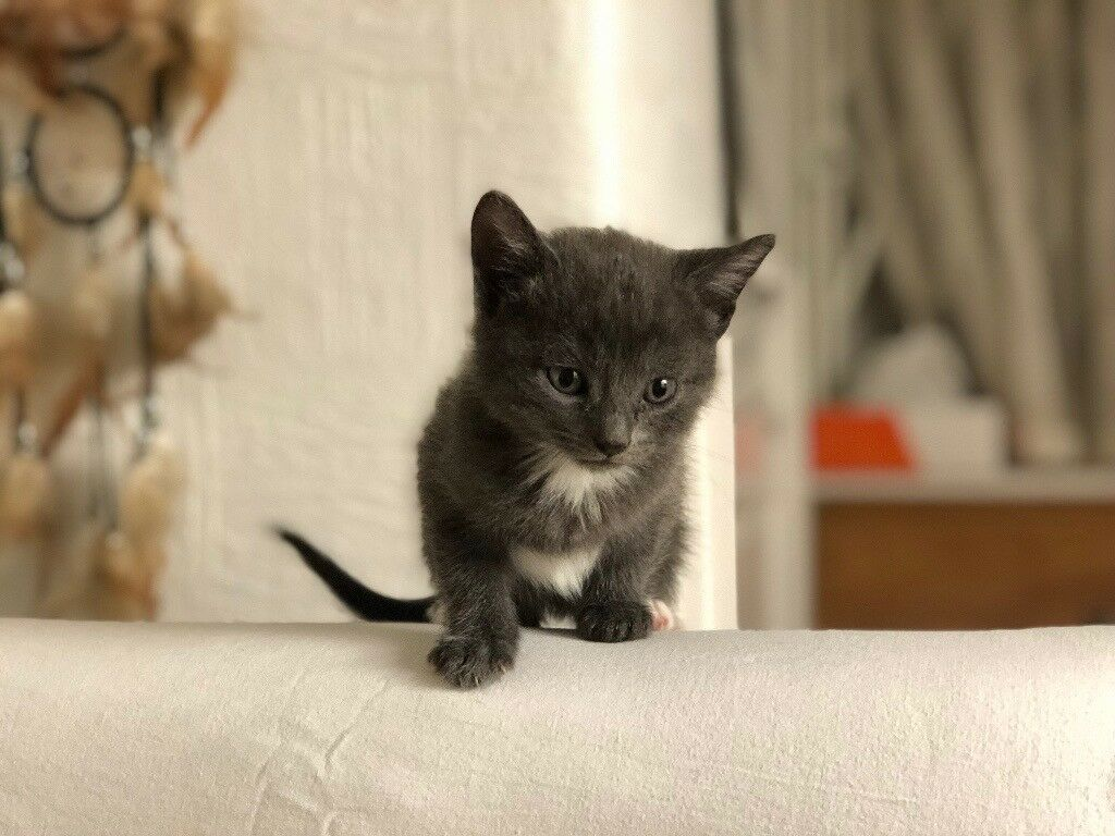 TABBY GREY KITTENS for sale in Hayes London