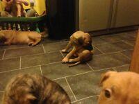 9 chunky bullmastiff X puppies
