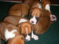 Boxer puppys red and white
