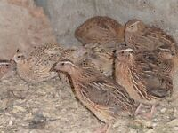 quail for sale