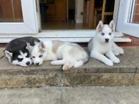 KC Reg Blue Eyed Siberian Husky puppies for sale