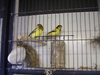 canaries for sale plus cages